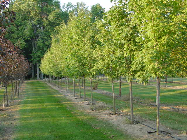 Sugar Maple Saplings